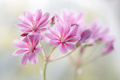 Lewisia (Mandy Disher) Tags: lewisia alpine flower