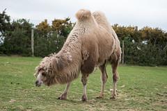 WMSP Bactrian Camel (3) (Daz James Photography) Tags: westmidlandsafaripark safari bactriancamel