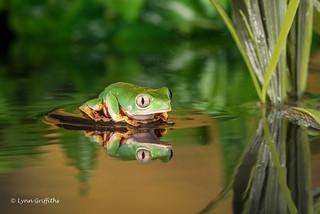 Reflection - Super Tiger Legged Waxy Monkey Leaf Frog D75_7249.jpg