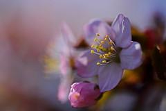 flower 1152 (kaifudo) Tags: sapporo hokkaido japan nikon d810 sigmaapomacro150mmf28 sigma 150mm macro 北海道 札幌 北海道知事公館 hokkaidogovernor'sofficialresidence 桜 サクラ エゾヤマザクラ 春 flower sakura