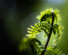 Unravelling Fern 1 of 2 (Don White (Burnaby)) Tags: 10mm centralpark extensiontube flowersplants macro nikon50mm18d bokeh fern unravelling