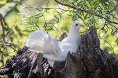 White Fantail Dove (Linda Martin Photography) Tags: fantail chile wildlife bird whitedove southamerica dove santiago animal naturethroughthelens ngc npc