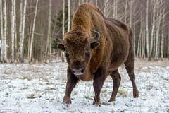 Bison Bull (fascinationwildlife) Tags: animal mammal bison wisent europe european wild wildlife winter snow cold bull male snowy forest bialowieza nature natur national park poland polen north eastern big
