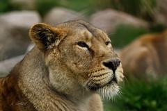 Asiatic Lioness (K.Verhulst) Tags: asiaticlions asiaticlion aziatischeleeuwen aziatischeleeuw lions leeuwen cats blijdorp blijdorpzoo diergaardeblijdorp rotterdam