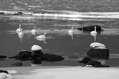 a Northern Swan Lake set design :) (lunaryuna) Tags: norway northernnorway lofoten lofotenislands lofotenarchipelago austvagoyaisland fiskebolvillage lake ice snow whooperswans winter season seasonalbeauty wildlife lunaryuna