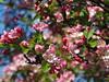 Bright Blooming May (swetlanahasenjäger) Tags: apfelblüte apfelbaum arboretum greifswald mai awesomeblossoms saariysqualitypictures ngc npc flowerarebeautiful