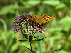 Argynnis paphia (Kaisermantel) (Michael Keyl) Tags: mountains berge alpen alps bayern bavaria inzell bayerischealpen outdoor hiking wandern butterfly schmetterlinge