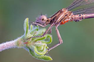 Damselfly (Zygoptera)
