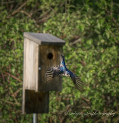 Fly! (mgstanton) Tags: heard bird heartfarm treeswallow swallow fly flying