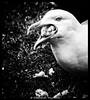 Day 123 (lizzieisdizzy) Tags: blackandwhite blackwhite beautiful black whiteandblack white seagull gull grass bread crumbs blades beak bill open feeding beady eye mouthful beakful feather feathers plumage mono chromatic chroma greedy