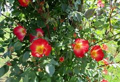 Rosa canina (Eli.b.) Tags: campagna primavera spring rosacanina printemps rose fiori fleurs flowers natura