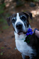 DSC_1343.jpg (tackycactus) Tags: dog adoptdontshop boxer humane society puppy love adopt beautiful cutie family alpena michigan