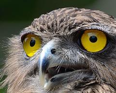 """Eyes""  Macro Mondays (Dunstan Fernando) Tags: macromonday dunstan nikon closeup owl eyes eyesformacromondaytheme yelloweyes wilpattu srilanka srilankawildlife bird brownfishowl macro wildlife nature outdoor dunstanphotography"