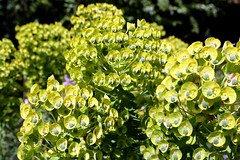 Euphorbias sunbathing..... (tiger289 (The d'Arcy dog supporters club)) Tags: highdown garden highdowngardens westsussex trees cherrytrees plants shrubs flowers hardwood judastree deciduous pond fish carp fruittree blossom spring lawns saplings bark redbark manorhouse highdownmanor restaurant allotment ww1 digforvictory foodproductionathome grass lawn flowerbeds ponds wildlife outdoor floralwalk avenueoftrees beechtrees redwoods insects birds squirrels bees pollen iteailicifolia hollyleavedsweetspire iteaceae tree plant foliage flower leaf perfume petals branch nature naturalworld chalkpit acidbeds landscape forest undergrowth woodland glade euphorbiacharacias wulfenii spurge jimmyplatt