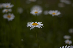 Margeriten (milance1965) Tags: margerite blume weiss macro canon 50d 50mm 1 8 vuckovic milance frühlingsblume springflower spring frühling