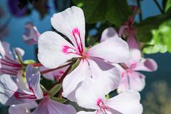Vacances_0065 (Joanbrebo) Tags: flors flores flowers fleur blumen blossom naturaleza natura nature bourgogne chalonsursaône france canoneos80d eosd efs1855mmf3556isstm autofocus