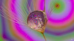 Creative Drop 💧 (YᗩSᗰIᘉᗴ HᗴᘉS +5 400 000 thx❀) Tags: 7dwf macro drop dandelion water creative art color soft hensyasmine