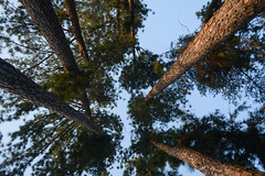 the taller one's (lahirjairams) Tags: blue sky from bottom view looks great tall trees makes place look scenic aaraku valley andhrapradesh india nikon nature love