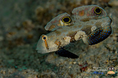 SIGNALFIN GOBY (Sonja Ooms) Tags: biocellatus divinglembehstraits fish gobiidae goby indonesia lembeh lembehstraits macro nad nadlembehresort nature signalfin signalfingoby signigobius signigobiusbiocellatus straits underwater