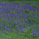 bluebells in the city