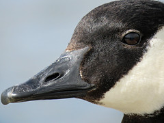 Up close and personal (annkelliott) Tags: calgary alberta canada bridlewood nature ornithology avian bird waterfowl aquaticbird goose canadagoose brantacanadensis adult headshot sideview closeup feathers texture bokeh water pond wetland outdoor spring 11may2017 canonsx60 annkelliott anneelliott ©anneelliott2017 ©allrightsreserved
