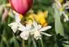 05-IMG_8777 (hemingwayfoto) Tags: blühen blüte blume gartenblume narcissen natur park pflanze rethen weis