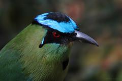 Momotus aequatorialis (Wilmer Quiceno) Tags: momotusaequatorialis andeanmotmot barranquero barranquillo soledad momotidae laceja aves birds birding birdwatching