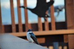 Tree Swallow at Potter Marsh (steve_scordino) Tags: bird treeswallow pottermarsh anchorage