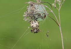 Schilfradspinne (Larinioides cornutus) , NGID135177254 (naturgucker.de) Tags: ngid135177254 naturguckerde larinioidescornutus nierstein golfplatz cursulagoenner