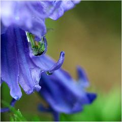 blue bells with drops (atsjebosma) Tags: tuin bloem bluebells drop druppel raindrops regendruppel spring lente voorjaar regen atsjebosma groningen thenetherlands mei 2017 nederland may coth5