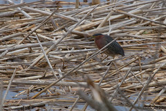 20170509-IMG_3094 (tdg734) Tags: abalist birds bitternsheronsandallies greenheron harborisland michigan ottawacounty unitedstates