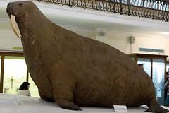 The Horniman Walrus | Horniman Museum | May 2017 (Paul Dykes) Tags: hornimanmuseum museum sydenham london england uk museums