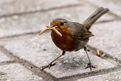 A regular visitor (JJ 349) Tags: robin