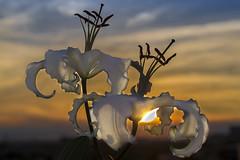 El cielo, al atardecer, parecía una flor carnívora. (Roberto Bolaño) (SinRaquel) Tags: puestadesol atardecer luz contraluz flor ocaso sunset flower