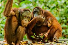 BOR_9546 (lucvanderbiest) Tags: orangoetang borneo maleisië sabah sepilok orangoetangrehabilitationcenter