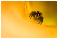 Yellow funnel (Elias macro proxy photographies) Tags: araignée spider jaune yellow nature salticide macrodreams