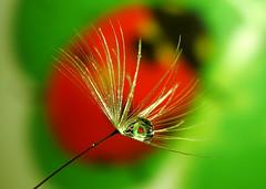 P1990495-Lady beetle -Dandelion (Bine&Minka2007) Tags: marienkäfer löwenzahn dandelion waterdrops wassertropfen wasser water red green grün closeup makro macro christal olympusmacro60mm
