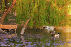 Canadian Geese at Sunset (Abdulkader Oubari) Tags: bird lake swimming sunset colors colorful geese canadian green crawley england syrian aleppo wildlife