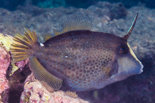 Wirenet Filefish - Cantherines pardalis