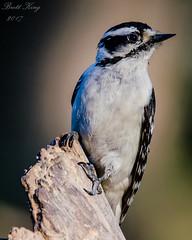 Downy Woodpecker (dbking2162) Tags: birds bird nature nationalgeographic wildlife woodpecker downy indiana animal portrait
