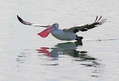 In coming (christinaportphotography) Tags: australianpelican pelecanusconspicillatus pelican centralcoast nsw australia bird birds wild free flying gliding landing pink courting focus dof water