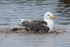 Bathtime (Shane Jones) Tags: lesserblackbackedgull gull seabird bird nature wildlife nikon d500 200400vr tc14eii