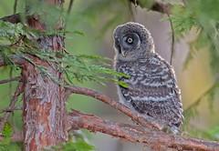 Great gray owl chick (knobby6) Tags: greatgrayowl yosemite chick nest forest california