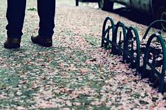 Cherry Blossom Petals (LeanneRichelle) Tags: cherryblossom cherry blossom philly phillyblossom phillyflowers phillybloom phillytrees prettytrees philadelphiaflowers phillystreets fairmount fairmountphilly fairmountphiladelphia prettystreets cherryblossompetals petals flowerpetals flower flowers cherrypetals blossompetals fallenpetals fallenleaves pink pinkstreets prettypetals fairmountstreets streetsoffairmount