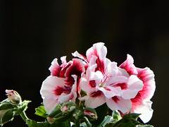 Geranium (STEHOUWER AND RECIO) Tags: flowers bloemen blulaklak flora red rood white wit green groen bud macro black background floral garden nature tuin natuur geranium ooievaarsbek photo photography capture image