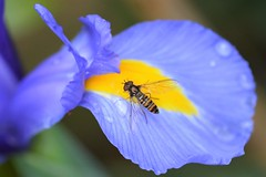 Iris Marmalade (suekelly52) Tags: diptera iris hoverfly wingwednesday wing fly