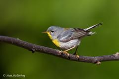 Northern Parula (Matt Shellenberg) Tags: northern parula northernparula warbler