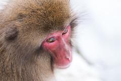DSCF5671 (ankkkuri) Tags: japan macaque japanesemacaque