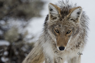 Coyote Close-up - 4238b+