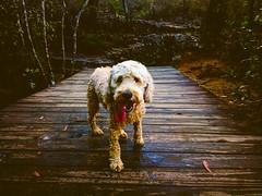 Dog Portrait (Markus Jaaske) Tags: park portrait water nature river dog pool animal cute wood pet walking outdoors wet mammal canine australia blue mountains lawson
